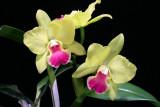 20095801 -  Rhynchosophrocattleya Memoria Shirley Moore  syn. Potinara Newberry  HCC AOS 77 pts.jpg