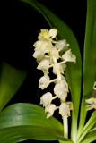 20096658  -  Eria aperiflora 'Eeria' CBR AOS close-up.jpg