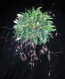 20097916  -  Specklinia megalops 'Rojohn' CCM AOS 82 prs.jpg