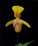 20105432  -  Paph. helenae 'Sunprairie'  AM AOS 80 points.jpg