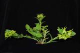 20113303 Epidendrum Volgoamparoanum 'Sunprarie' CBR AOS 1-8-2011