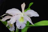 20124620  -  Rhyncholaeliocattleya Madame Charles Maron  'Andys Joy ' HCC/AOS  (79 points)  8-9-2012.jpg