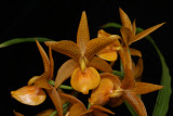 20124573  -  Cycd. Golden Showers X Morm. revulutum  HCC/AOS  (78 points)  10-6-1012 Close-up.jpg