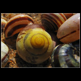 ... yellow and brown sea snail ...