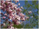 Magnolias '09