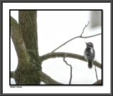 Downy Woodpecker #2