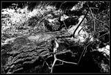 Fallen Tree HC.jpg