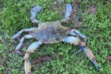 Ponchartrain Lake crab