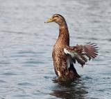 duck_DSC2549.jpg