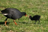 Dusky Moorhen and chick