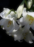 L is for Lilium