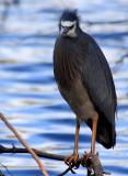 White faced heron