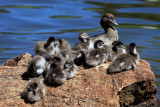 Australian Wood Duck and  babies