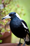 Brainwashed by an Australian Magpie
