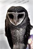 Sooty Owl