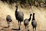 January 4. Emu & chicks