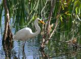 January 7. Great Egret