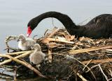 Black Swan with cygnets