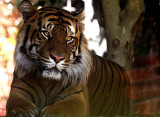 Sumatran Tiger,  endangered