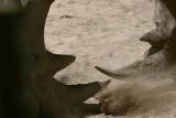 Sparring  Rhinos