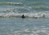 Shark off Siesta Key, Florida