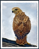 Painted Hawk
