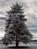Towering Blue Spruce