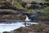 Maribou stork fishing