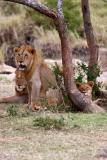Alert lions