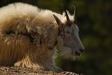 Mountain Goats in Jasper
