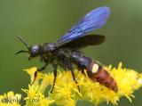 Scoliid Wasp Scolia dubia