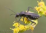 Broad-headed Bug Alydus curinus