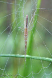 Long jawed Spider - Tetragnatha sp.
