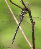 Twin-spotted Spiketail Cordulegaster maculata