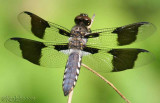 Common Whitetail Plathemis lydia