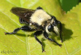 Robber Fly Laphria sp.