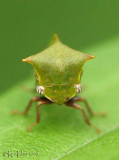 Buffalo Treehopper Stictocephala bisonia