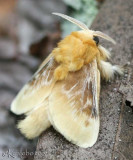 Southern Flannel Moth Megalopyge opercularis #4647