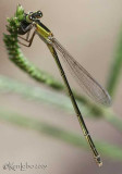 Rambur's Forktail  Ischnura ramburii female