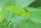 Oblong-winged Katydid