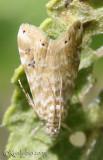 Cabbage Budworm Moth Hellula phidilealis #4847