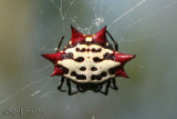 Spiny Orb Weaver Gasteracantha cancriformis