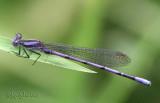 Variable Dancer - Argia fumipennis