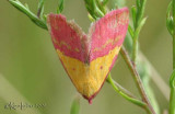 Pink-bordered Yellow Phytometra rhodarialis #8481