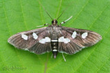 Grape Leaffolder Moth Desmia funeralis #5159