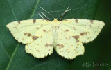 False Crocus Geometer Xanthotype urticaria #6740