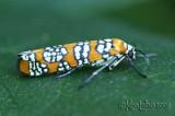 Ailanthus Webworm Moth - Atteva punctella #2401