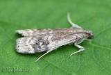 Euzophera semifuneralis #5995
