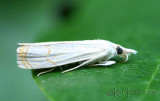 Graceful Grass-veneer Moth Parapediasia decorellus #5450
