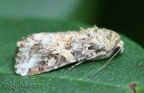 Spodoptera praefica #9667